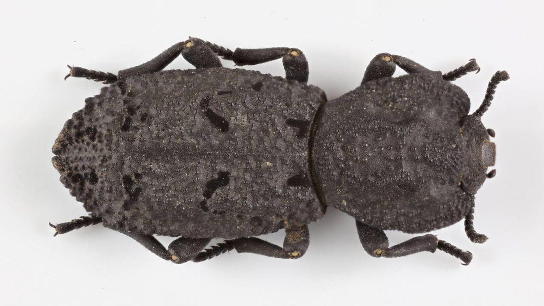Soporta el peso de un coche saliendo ileso: así es este escarabajo indestructible