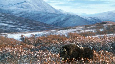 Bueyes almizcleros: los últimos barbudos que quedan en la tundra