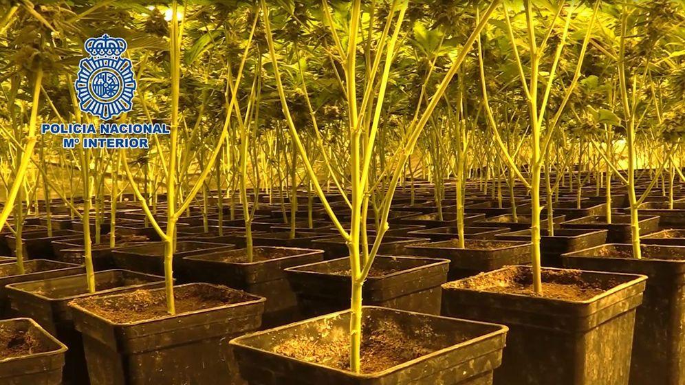 Foto: La Policía Nacional invernino un total de 102 plantas de marihuana