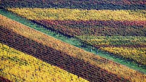 Viñedos coloreados por el otoño