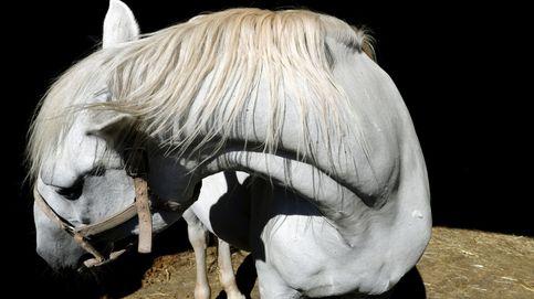 Caballos de raza lipizziana en Lipica