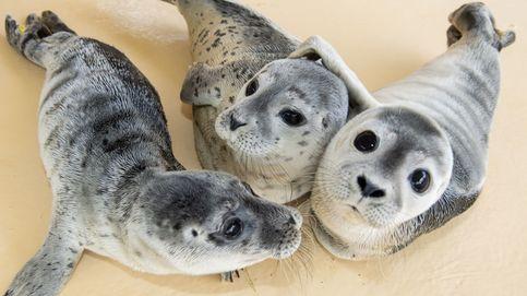 El increíble canto de tres focas que entonan la sintonía de 'Star Wars'