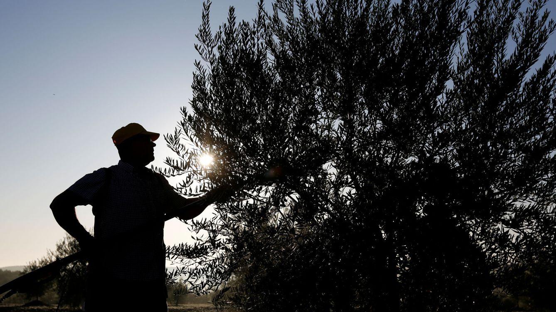 El ébola del olivo puede costar a España 17.000 M de euros en los próximos 50 años