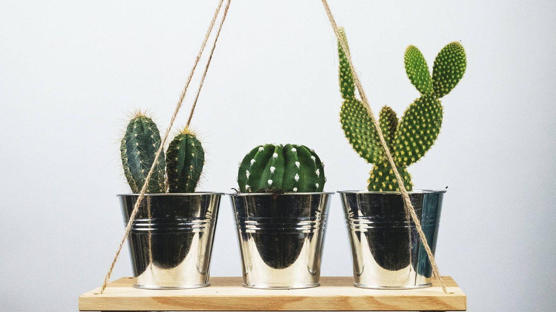 Cactus. (Unsplash)