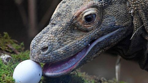Indonesia cerrará la isla de Komodo para proteger a sus dragones autóctonos