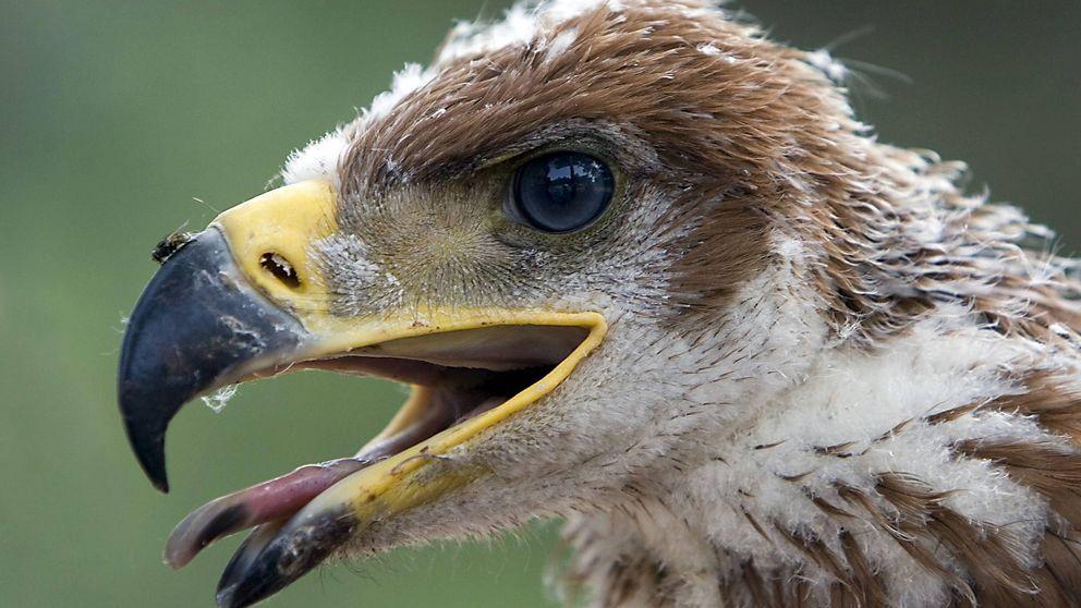 Casi 8.000 fotos componen el atlas digital del águila imperial ibérica