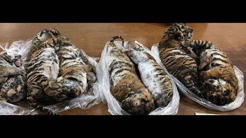 Encuentran siete tigres muertos en el interior de un coche en Vietnam