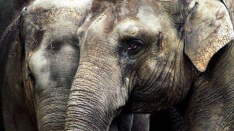 Una bebé elefante defiende a su madre de unos veterinarios