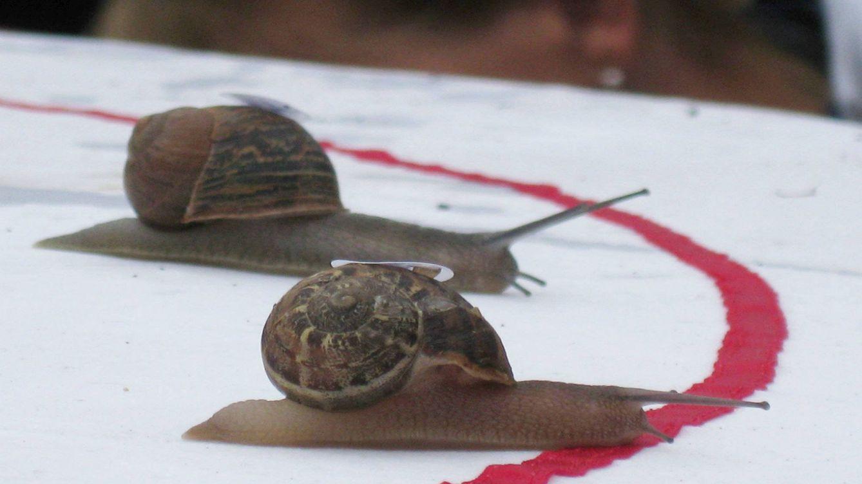 Foto: Dos caracoles llegan al final de la carrera.