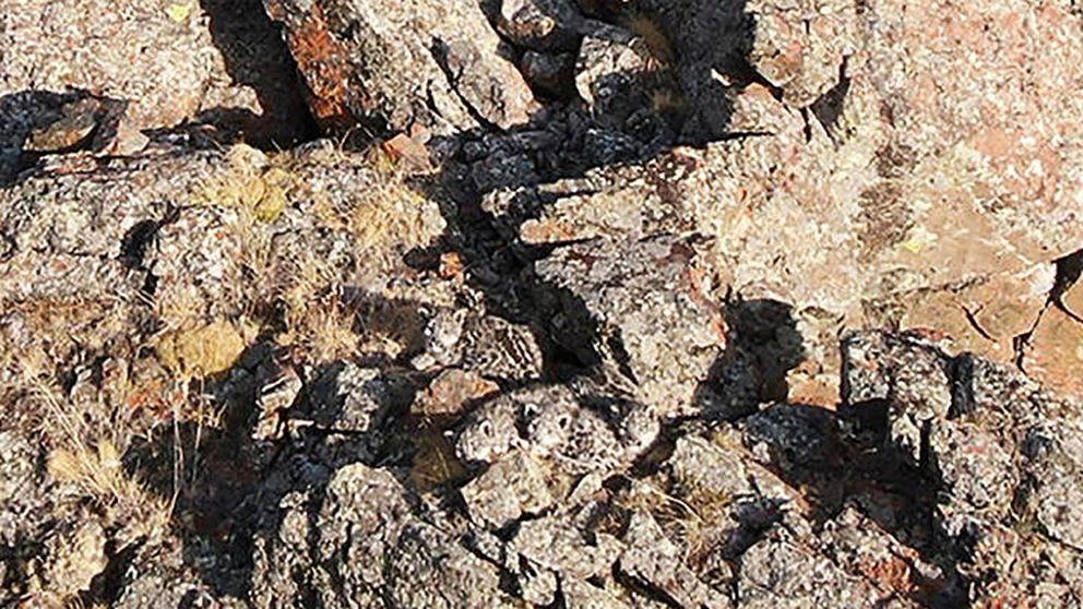 Reto viral: ¿eres capaz de encontrar a las cuatro crías de leopardo de las nieves?