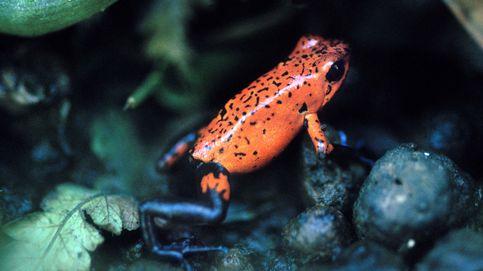 Las fascinantes y peligrosas ranitas venenosas de la selva