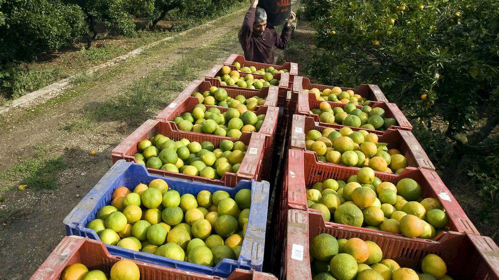 Foto: Según la CGT, el problema se repite en las cooperativas citrícolas (EFE/Rubén Francés)