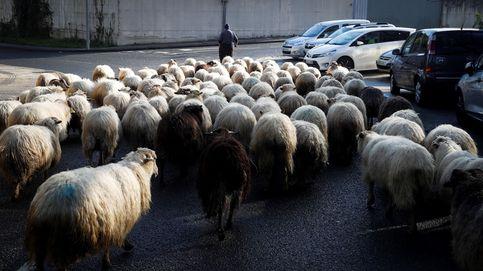 Un rebaño de ovejas en San Sebastián y erupción del volcán Merapi: el día en fotos