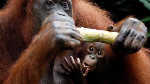 La masacre del orangután de Borneo: 100.000 han sido aniquilados en 16 años