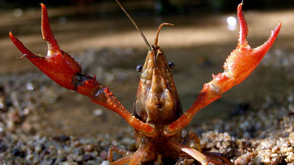 PP y PSOE, a la gresca con científicos y leyes por culpa de un cangrejo