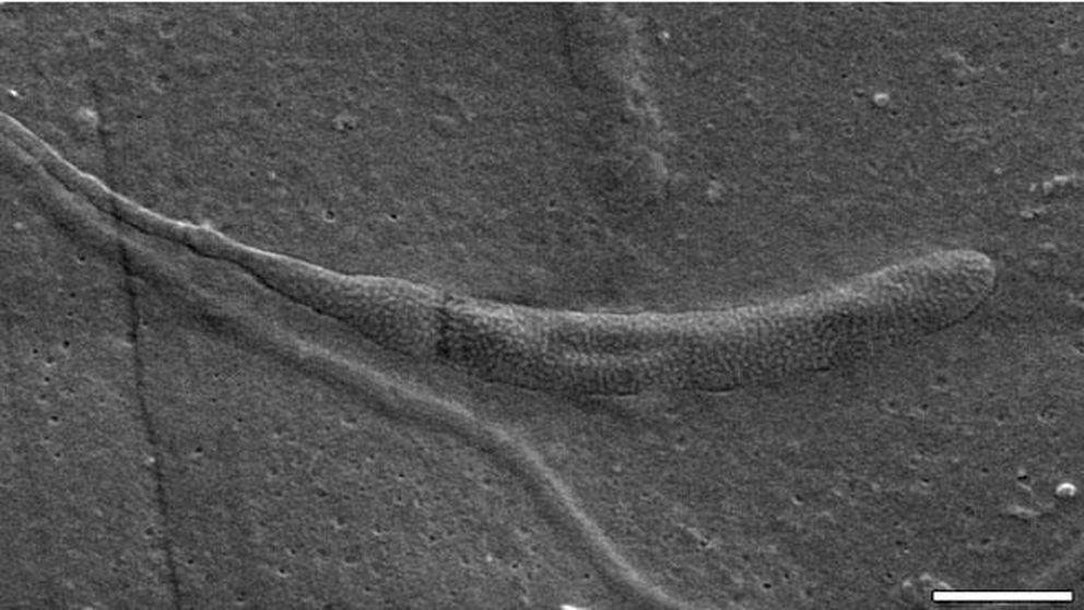 El esperma más antiguo del mundo: 50 millones de años bajo la fría Antártida