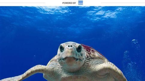 ¿Por qué se llama boba a la especie más común de tortuga en nuestros mares?