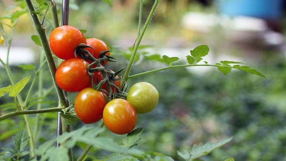 Foto: Tomates de rama.