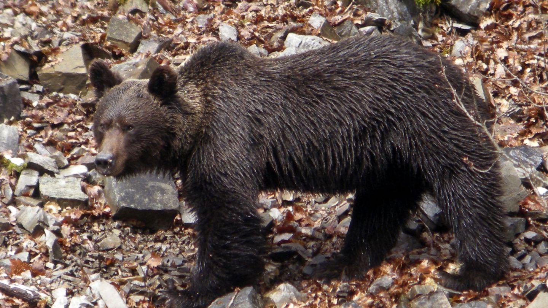 Un oso pardo en el monte asturiano. (EFE)