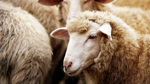 Las ovejas no quieren 'malotes': prefieren aparearse con machos poco dominantes