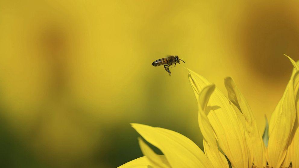 El veneno de abeja, perfecto 'caballo de Troya' para llevar fármacos al cerebro