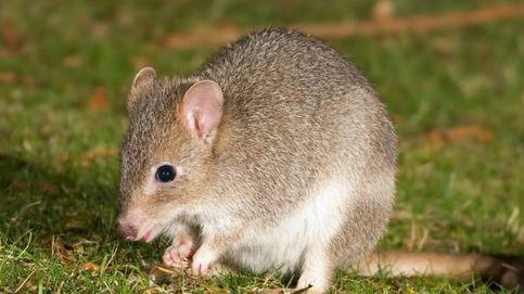 Un roedor australiano, el primer mamífero extinto por el cambio climático en el mundo