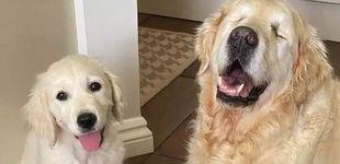 Post de Este perro ciego cuenta con la ayuda de un cachorro que le sirve como guía