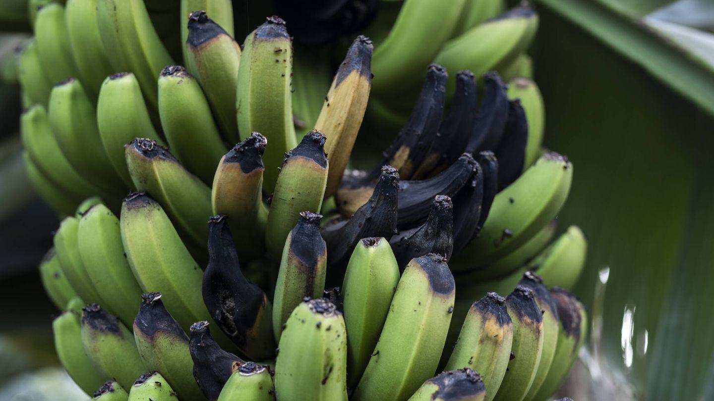 Una piña con plátanos podridos en una plantación en Los Llanos. Muchos cultivos se vieron afectados por la ola de calor que sufrió la isla a mediados de agosto. (Alejandro Martínez Vélez)