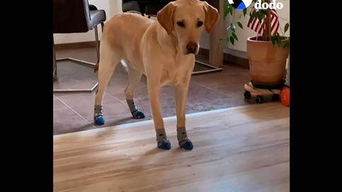 Korey, el perro de terapia que solo pisa el suelo si se pone calcetines