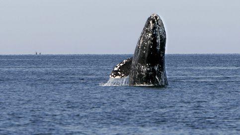 La ballena gris, del Ártico a la Baja California