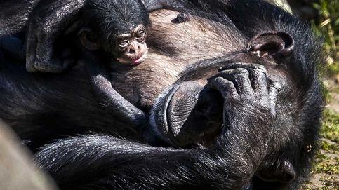 Hallan un hueso en el corazón de chimpancés, ¿y en humanos?