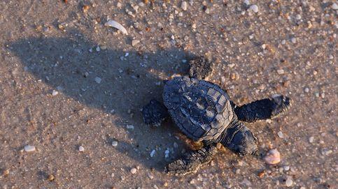 Primeros pasos de una tortuga boba