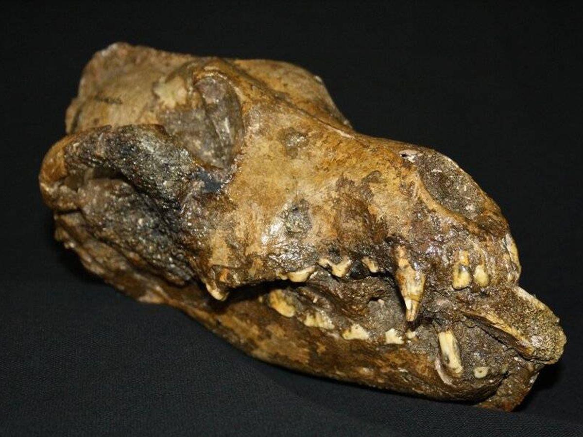 Foto: Restos dentales de un cánido. Foto: Peter Ungar