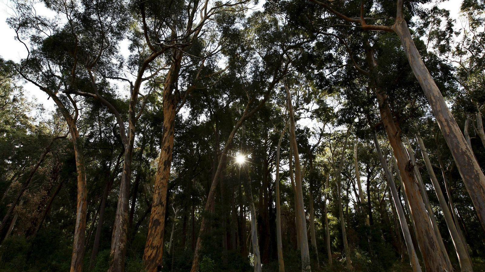 Foto: Un bosque de eucaliptos australianos en Tokai, cerca de Ciudad del Cabo (EFE)