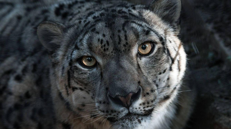 Acertijo viral: ¿puedes encontrar al leopardo de las nieves en esta fotografía?