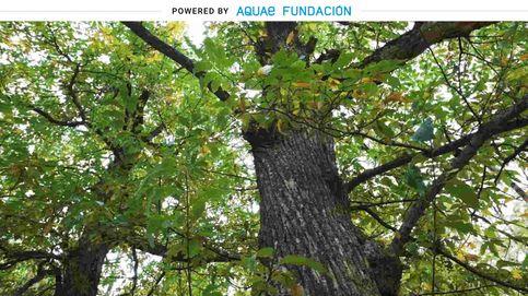 El árbol conocido por las 'bellotas de Zeus' que puede llegar a vivir mil años