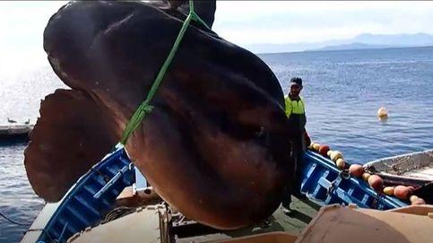 Pescadores ceutíes capturan por error un enorme pez luna de más de 1.000 kilos