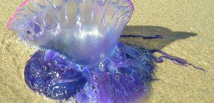Post de La temida carabela portuguesa: así debes actuar si te pica esta falsa medusa