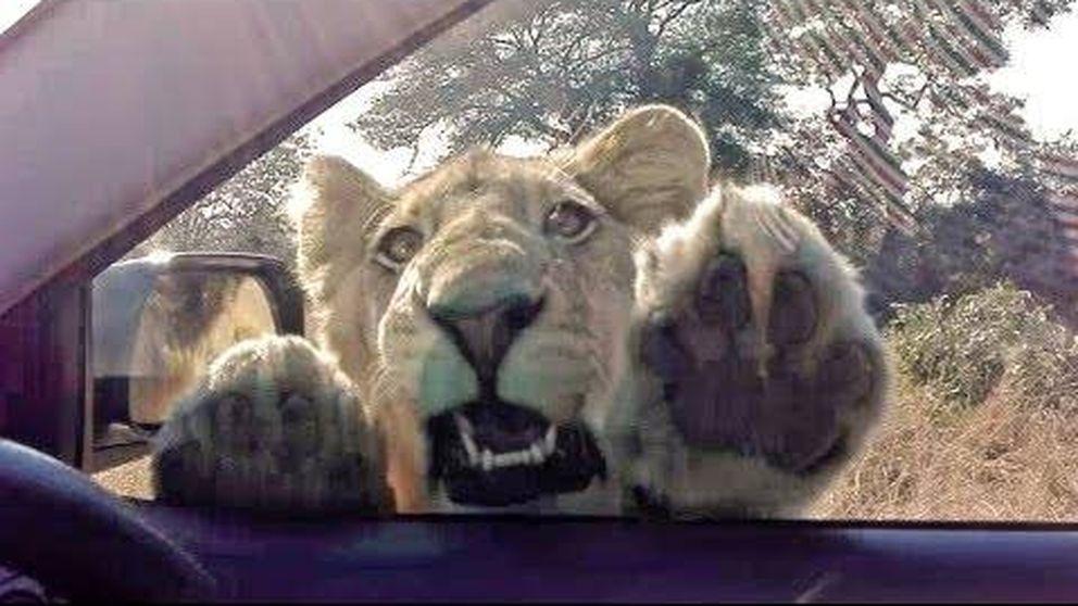 Vaya susto se llevan estos turistas ante el saludo inesperado de este león