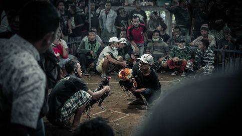 Cuchillas, sangre y billetes en la arena: el negocio y rito de las peleas de gallos en Bali