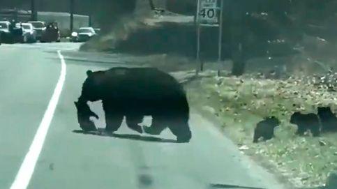 El hilarante vídeo de una osa tratando de cruzar la carretera con sus oseznos