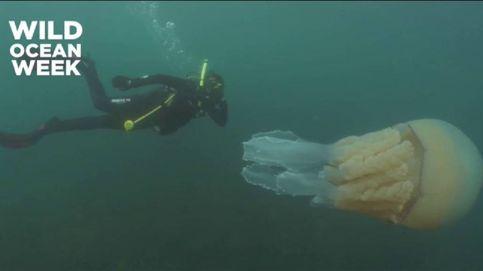 Aparece una medusa gigante en el sudeste de Inglaterra