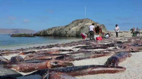 Miles de sepias aparecen muertas en una playa de Chile