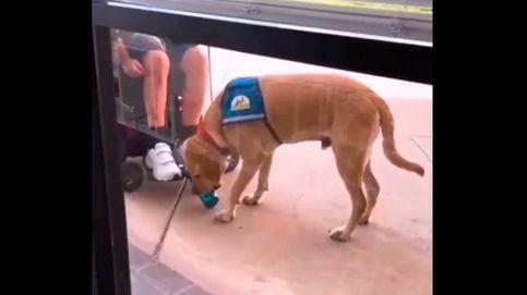 El perro de servicio que enamora a internet con sus cuidados a su dueño