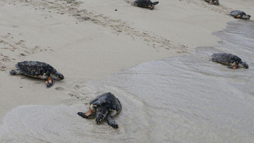 Foto: Tortugas carey. Foto: EFE RICARDO MALDONADO ROZO