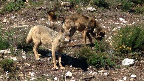 Nuevo quiebro en el conflicto del lobo: el ministerio no contenta a ecologistas ni a cazadores