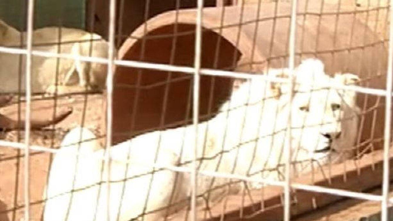 Subastar a un león blanco para cazarlo: la idea para recaudar fondos en Sudáfrica