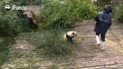 Un oso panda hiperactivo y bebé conquista las redes