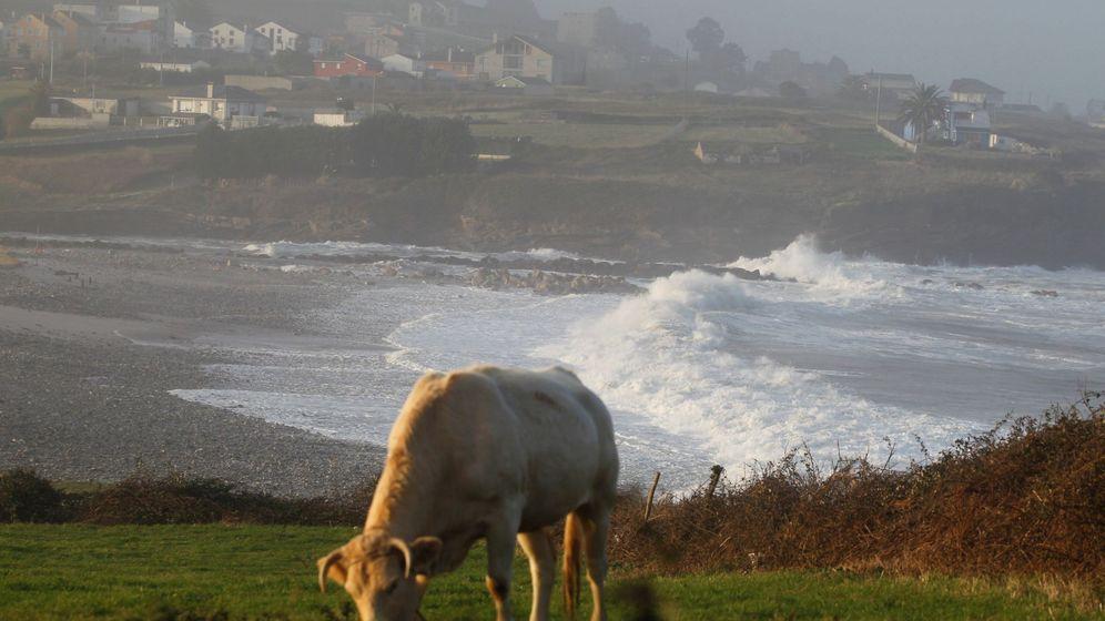 Foto: Una vaca pasta en Fazouro, Lugo (Eliseo Trigo / EFE)