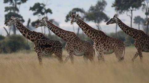 Kenia ha decidido contar todos los animales del país y se han llevado una gran sorpresa